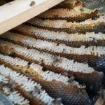 bijenvolk onder dak