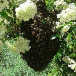 prachtige bijenzwerm