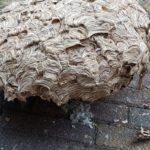 groot wespennest in Zeewolde